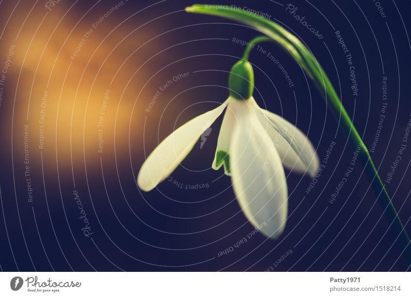 Schneeglöckchen Natur Pflanze Blume Blüte Wildpflanze Galanthus Blühend grün weiß Frühlingsgefühle Farbfoto Außenaufnahme Makroaufnahme Tag