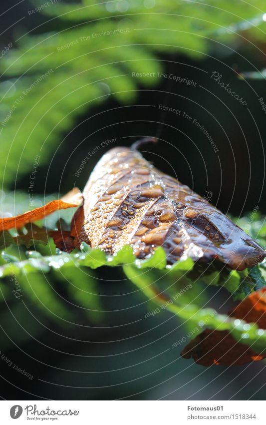Wasserperlen auf Herbstlaub Natur Wassertropfen Pflanze Farn Blatt Wald braun grün Erholung Zufriedenheit Hoffnung Klima nachhaltig Pause rein Stimmung Umwelt