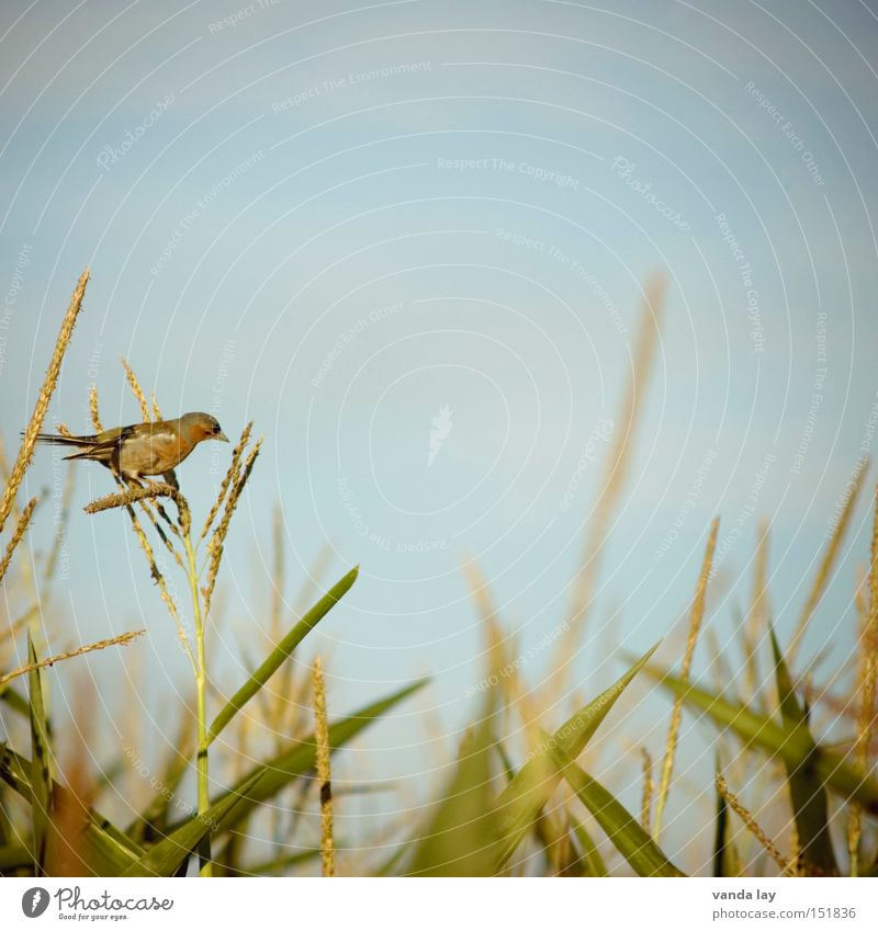piep Natur Himmel grün Sommer Ernährung Tier Vogel Feld Hintergrundbild Lebensmittel sitzen Quadrat Landwirtschaft Appetit & Hunger Ernte Mais