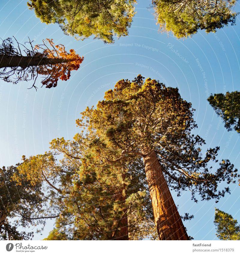 Große Freund Baum alt ästhetisch hoch ruhig authentisch Yosemite NP Wald Baumkrone Nadelbaum Riesenmammutbaum Mammutbaum Amerika USA Farbfoto Außenaufnahme