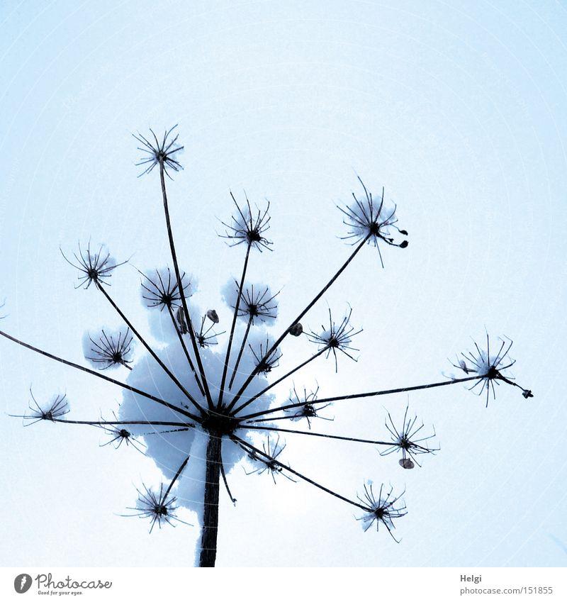 Wattebäuschchen... Natur weiß Pflanze Winter kalt Schnee braun Stern (Symbol) weich Stengel Fühler Doldenblütler