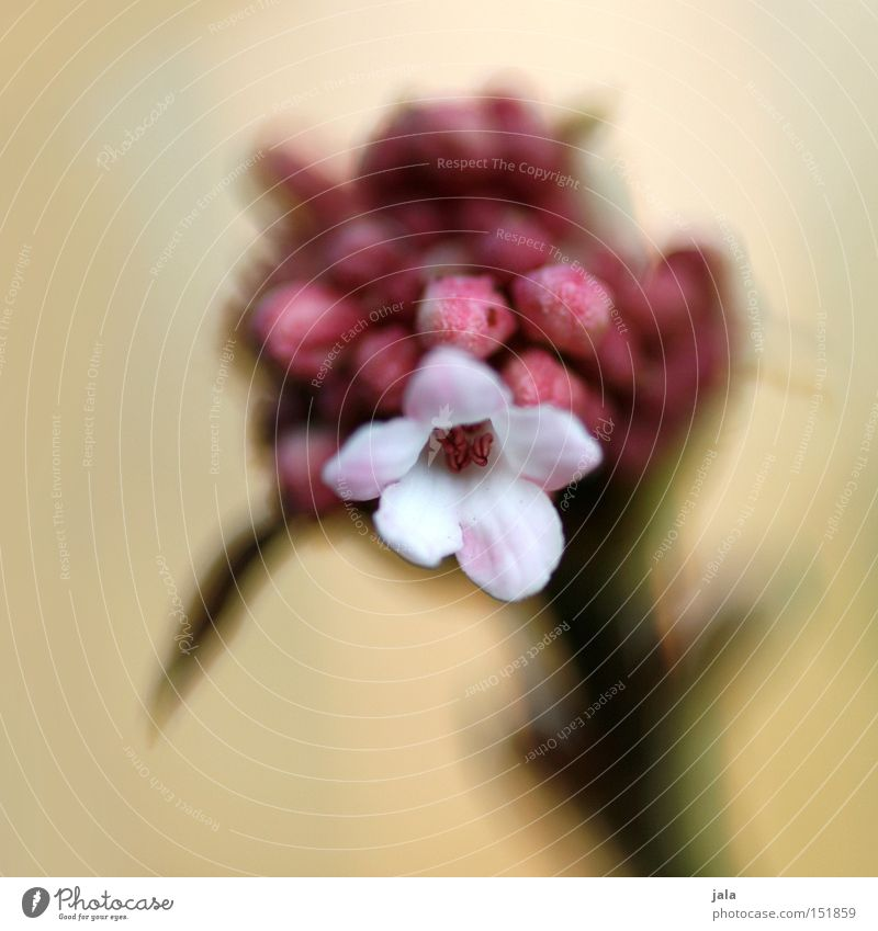 als ob der frühling käme Natur schön weiß Blume Pflanze Winter Frühling Park rosa ästhetisch weich sanft