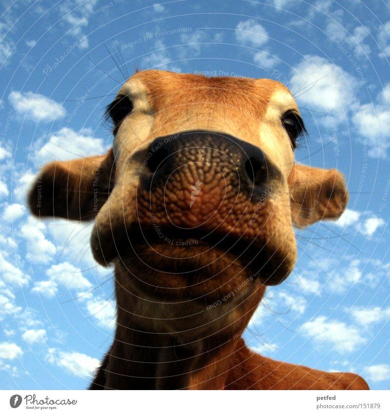 Indisches Anbetungsobjekt Himmel Tier Auge Kuh Säugetier Indien heilig Rind Schnauze Asien