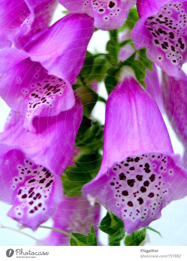 Lasst die Köpfe nicht hängen, der Winter ist doch bald vorbei! Natur grün Sommer Blume Wärme Traurigkeit Blüte rosa Wachstum Trauer Punkt violett hängen Fleck gefleckt Fingerhut