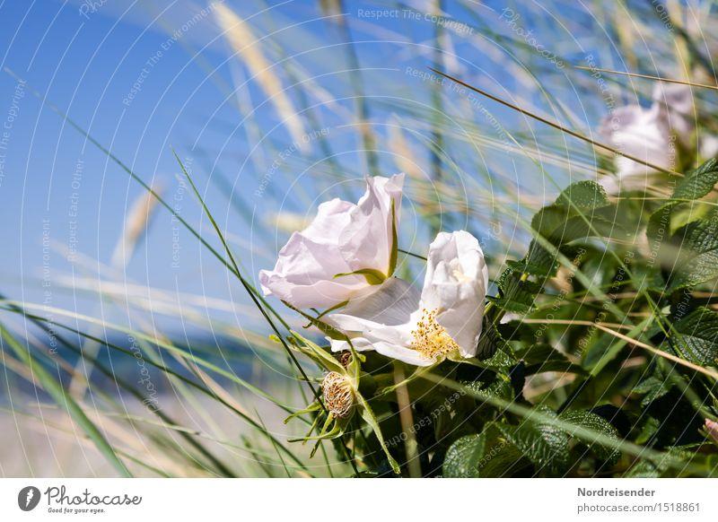 Ostsee Leben harmonisch Duft Ferien & Urlaub & Reisen Strand Meer Natur Landschaft Pflanze Wasser Wolkenloser Himmel Sommer Schönes Wetter Sträucher Rose