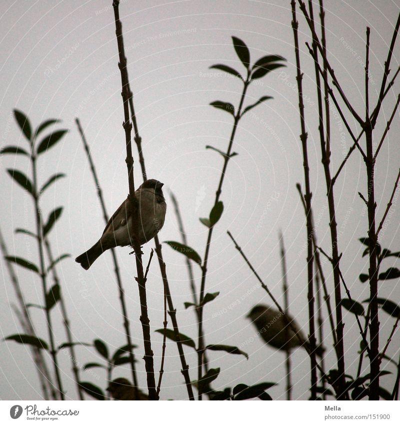 Spatzenwinter Natur Tier grau Vogel Umwelt trist Sträucher natürlich trüb Spatz Zweige u. Äste