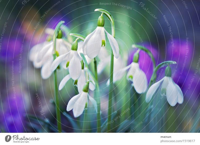Kleingruppe Natur Pflanze grün weiß Blume Blüte Frühling natürlich Garten violett Vorfreude Frühlingsgefühle Schneeglöckchen Frühlingsblume Frühblüher