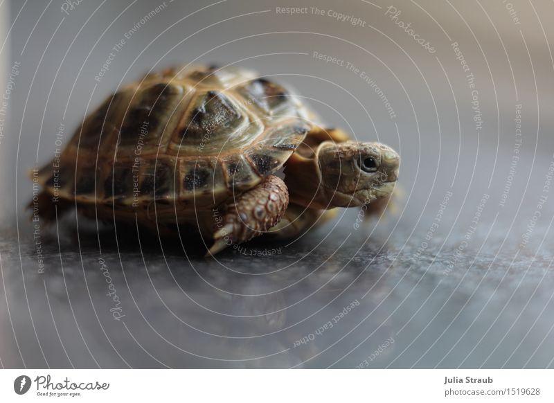 jetzt aber schnell günter Tier Haustier Landschildkröte 1 laufen Geschwindigkeit braun grau grün Ausdauer Leistung Zeit Ziel gepanzert schön Innenaufnahme Tag