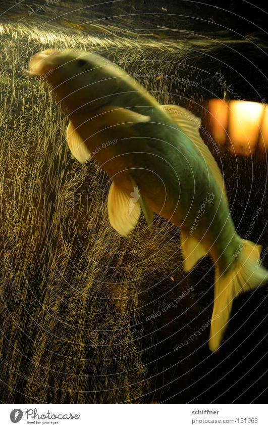 Sprudelflug II Fisch Karpfen Koi Aquarium Luftblase sprudelnd Vorhang Wasser Flosse fliegen Schweben Schwerelosigkeit Unschärfe Edelfisch Luftverkehr