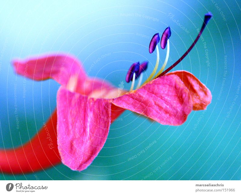 Blüte Blume Pflanze rosa Makroaufnahme Natur schön Frühling intensiv Kraft Nahaufnahme blaun