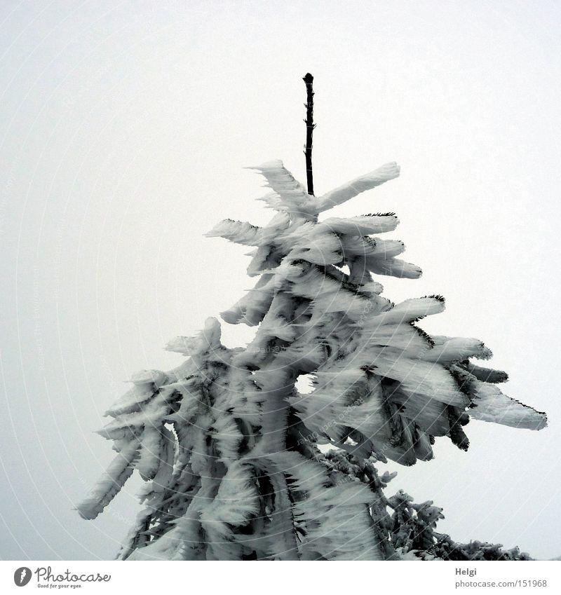 steife Brise... Baum Tanne Zweig Schnee kalt Sturm gefroren Eis Spitze Zacken Winter bizarr Strukturen & Formen grün weiß Natur Helgi Tannennadel