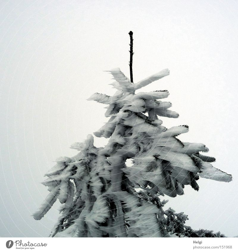 steife Brise... Natur weiß Baum grün Winter kalt Schnee Eis Spitze Sturm Tanne gefroren bizarr Zweig Zacken Tannennadel