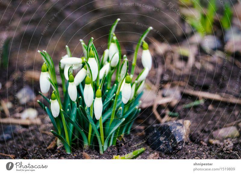 Der Frühling kommt! Wellness Leben Wohlgefühl Umwelt Natur Landschaft Pflanze Urelemente Erde Klima Klimawandel Wetter Schönes Wetter Schneeglöckchen Frühblüher