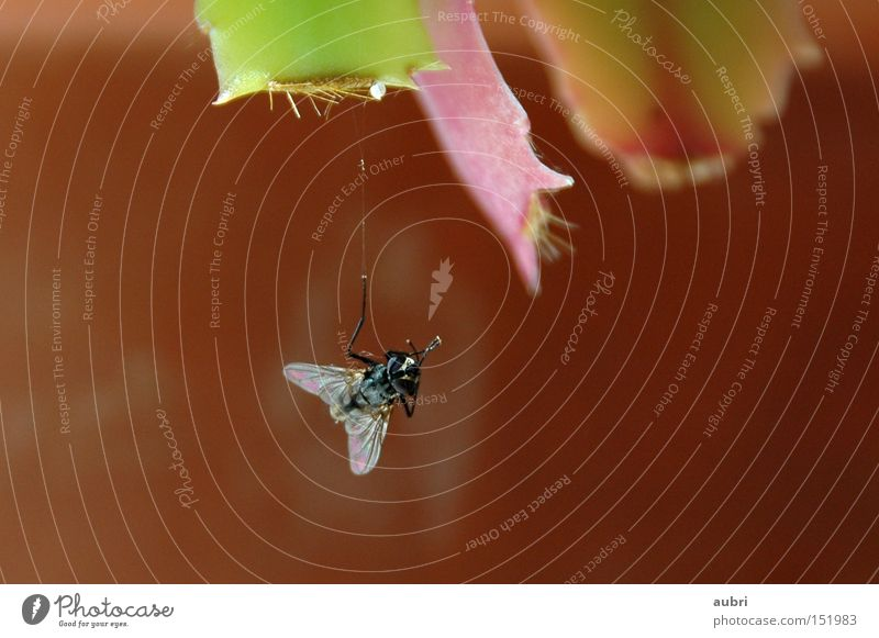 hängefliege Fliege Insekt Flügel Eintagsfliege Tod braun Seidenfaden aubri