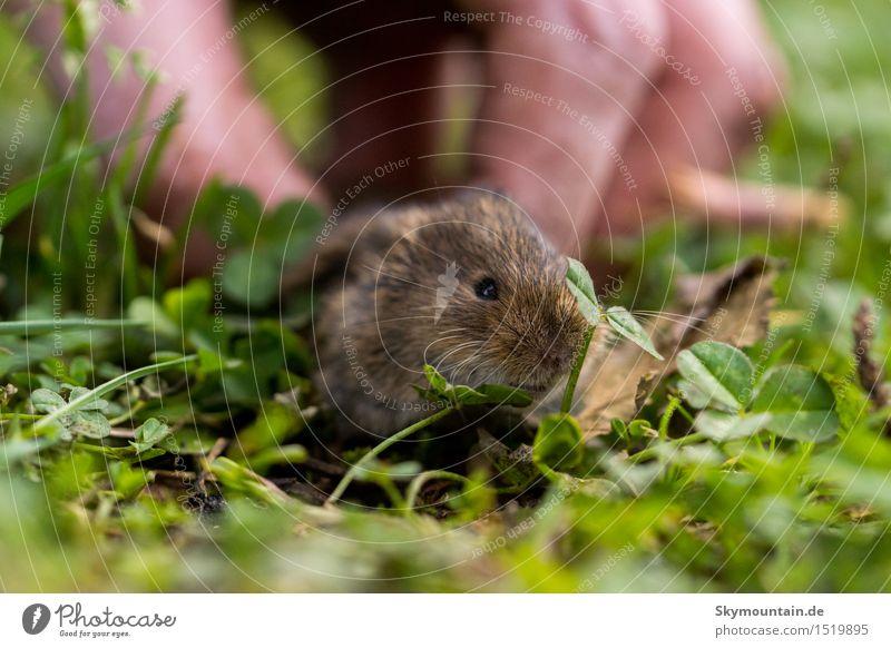 Maus Umwelt Natur Pflanze Tier Gras Garten Park Wiese Feld Wald Tiergesicht Fell 1 braun grau orange rosa Heimweh Angst Verzweiflung Schüchternheit Farbfoto