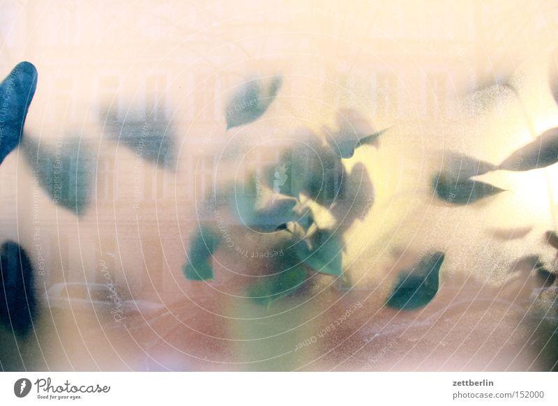 Fenster grün Fenster Glas Klima Häusliches Leben durchsichtig Fensterscheibe Scheibe Topf Blumentopf Durchblick Gas Glasscheibe Sauerstoff Transparente Gummibaum