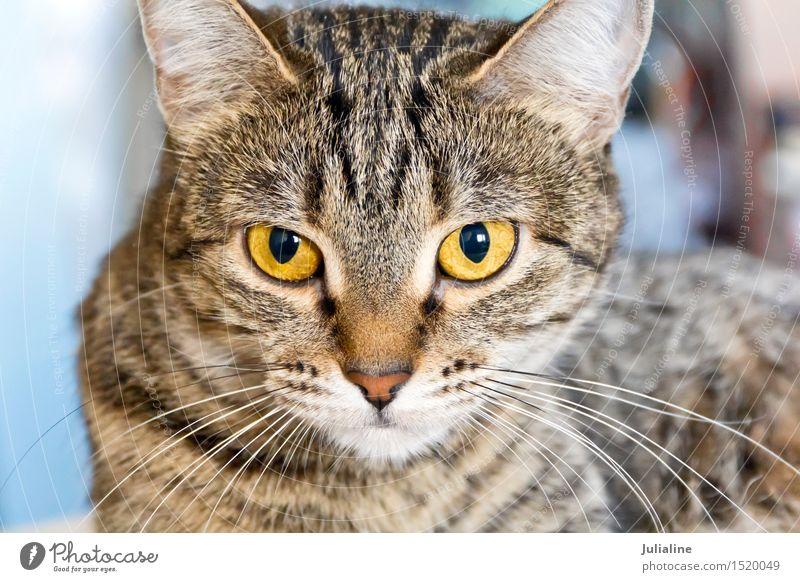 Katzenporträt mit gelben Augen Tier Oberlippenbart Haustier 1 Streifen grau Säugetier Backenbart Koteletten Farbfoto Menschenleer