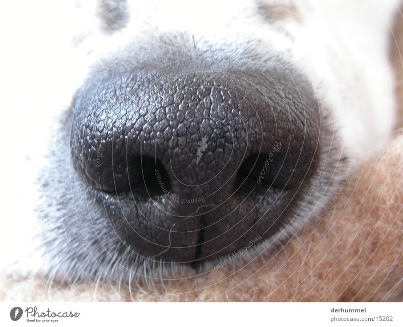 Hundenase Tier Nase Nasenloch Dalmatiner