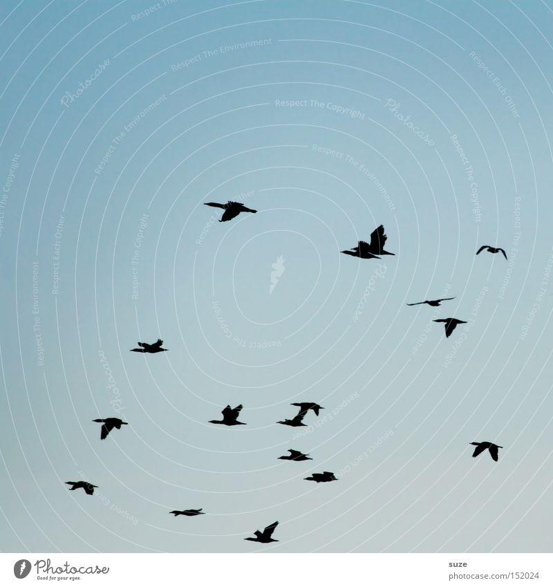 Kormorane Himmel Natur blau Umwelt Bewegung Freiheit fliegen Vogel Luft wild Wildtier authentisch Klima verrückt Unendlichkeit Zusammenhalt