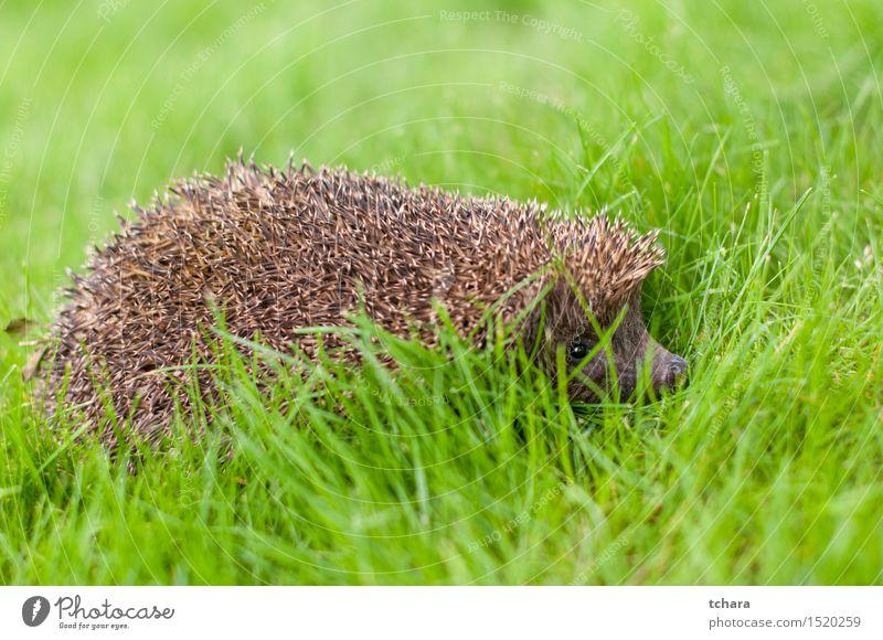 Igel Sommer Natur Tier Gras stachelig wild braun grün Schutz jung Tierwelt Säugetier Nagetiere Stachel Nadel Verteidigung Schnauze Borsten Hecke Aussicht