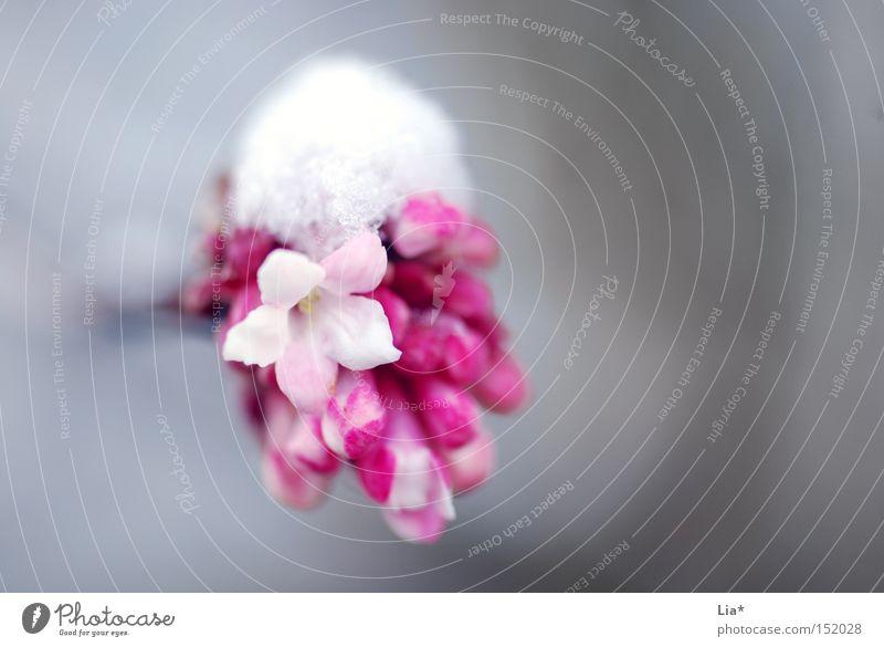 Schneekäppchen weiß Blume Winter kalt Leben Frühling rosa Kraft Frost Jahreszeiten rein zart