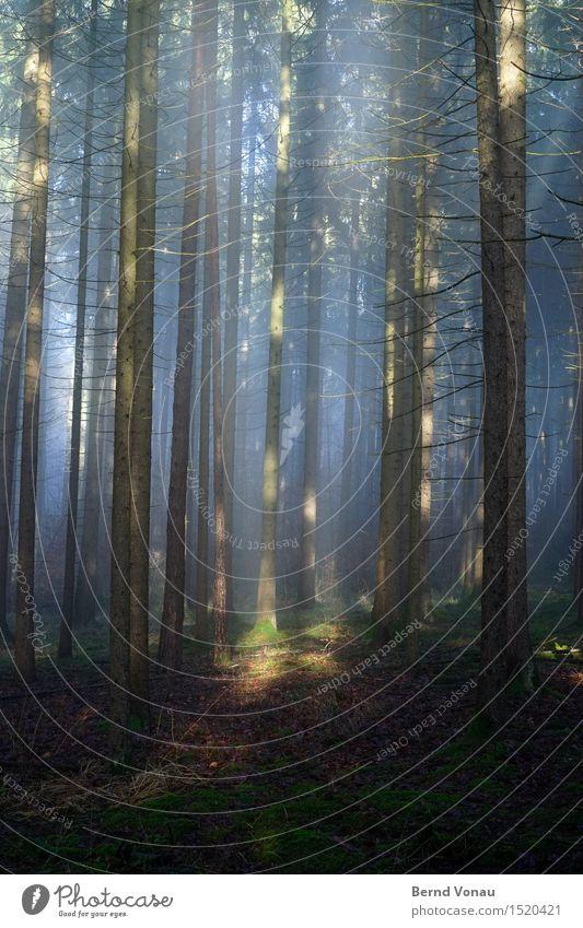 Beamer Umwelt Natur Schönes Wetter Pflanze Baum Gras Wald Gefühle Stimmung Glück ruhig Ruhestand Ast Tanne Hoffnung Glaube Lichtblick blau grün braun Dunst