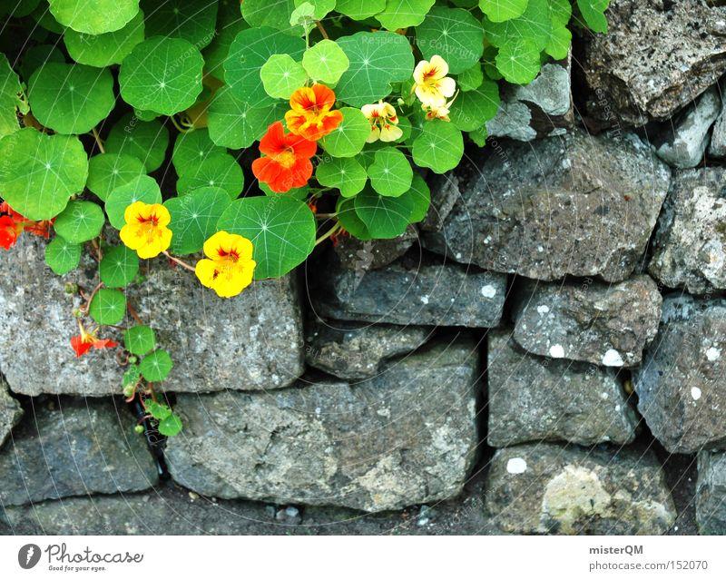 Garten Eden II Mauer Republik Irland Nordirland Kapuzinerkresse Konzentration Wachstum Wegrand Blume Handwerk Blüte Natur mehrfarbig dezent Stein Frühling