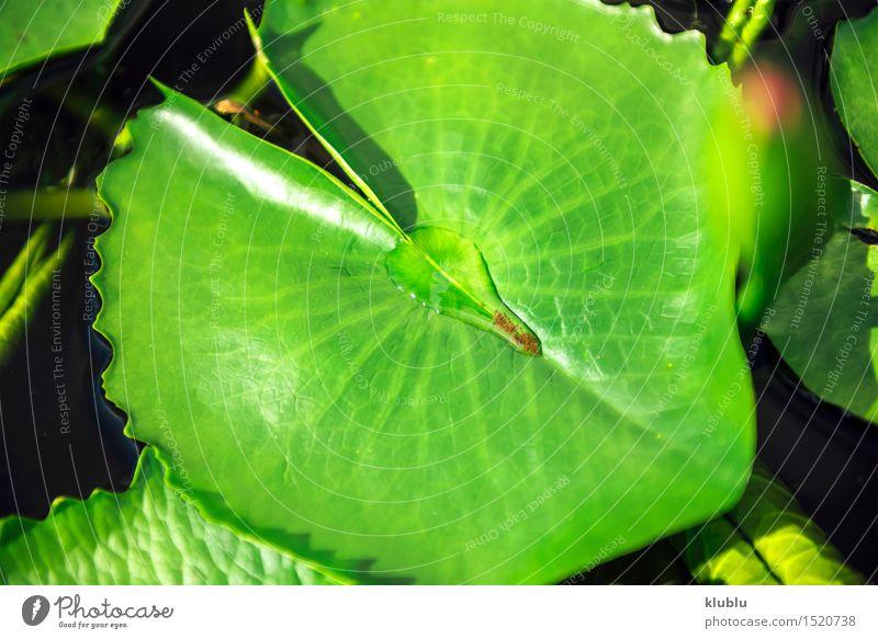 Lotus-Blatt in einem Teich Design exotisch schön Sonne Garten Umwelt Natur Pflanze Park Streifen frisch natürlich grün aquatisch Asien Asymmetrie Hintergrund