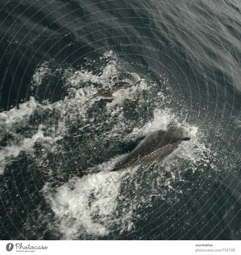 Guter Freund 2 Natur Wasser Ferien & Urlaub & Reisen Meer Wellen Schwimmen & Baden Fisch Filmindustrie Ereignisse Salz Segelboot Atlantik Delphine Flosse