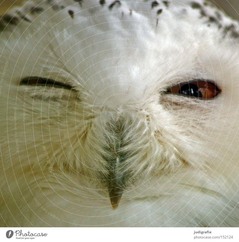 Räuber Schnee-Eule Eulenvögel Vogel Feder Schnabel Zwinkern Auge Greifvogel Blick Farbe