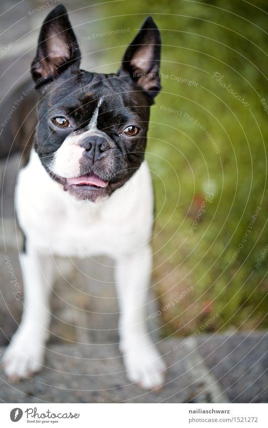 Boston Terrier Hund Sommer Tier klein Garten niedlich Haustier Sommertag zweifarbig Reinrassig