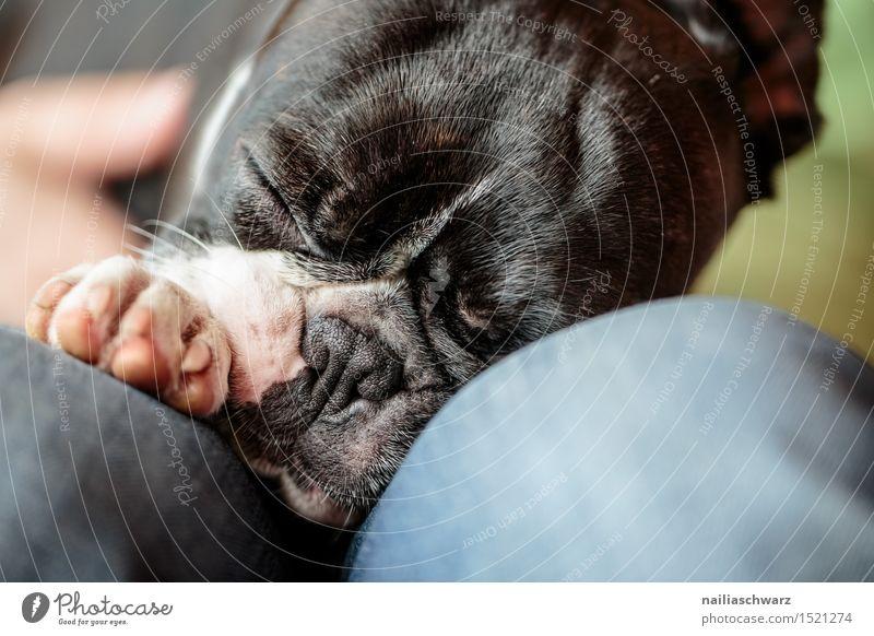 Schlafender Boston Terrier Hund Tier klein niedlich schlafen Müdigkeit Haustier zweifarbig Reinrassig