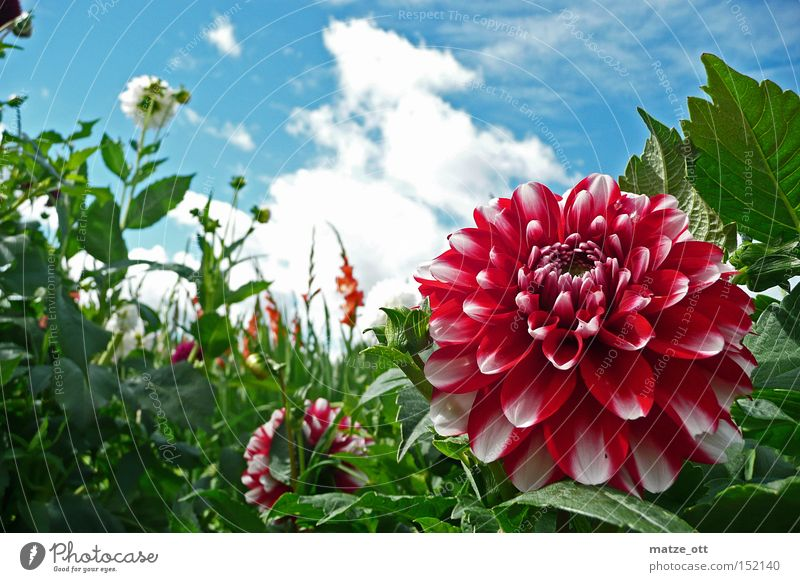 Blütenportrait Himmel Blume Pflanze Sommer Blüte Frühling