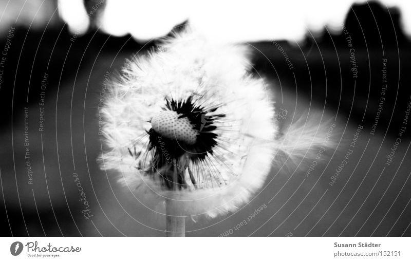 ein Stück Sommer Löwenzahn Wärme heiß Feld blasen Blume Pollen Sporen Landwirtschaft Straße Stengel schwarz weiß