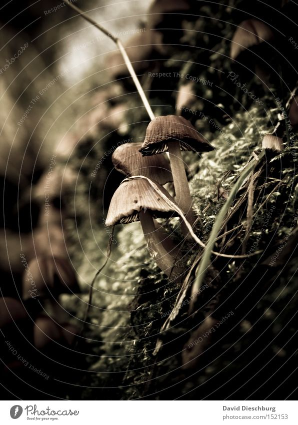 Freunde fürs Leben Pilz Pflanze Moos Natur Boden Bild Stengel Gift Gemüse Makroaufnahme Nahaufnahme Herbst motiv ungenießbar jägerschnitzel