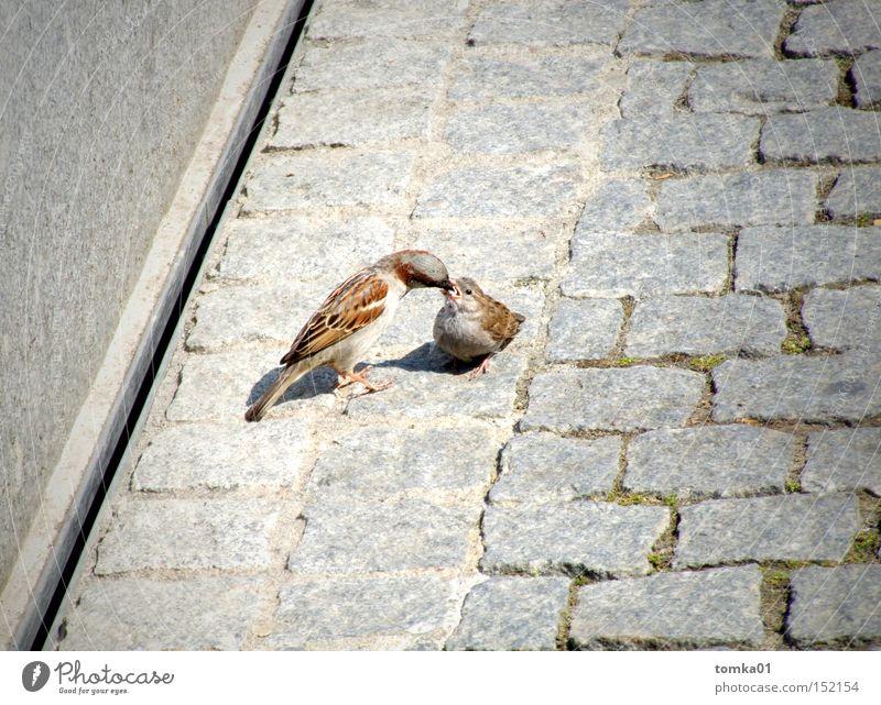 Einmal Volltanken bitte !!! Vogel Spatz Zärtlichkeiten Schnabel füttern Appetit & Hunger Straße grau Kopfsteinpflaster Mutterliebe Nachkommen Tier beobachten