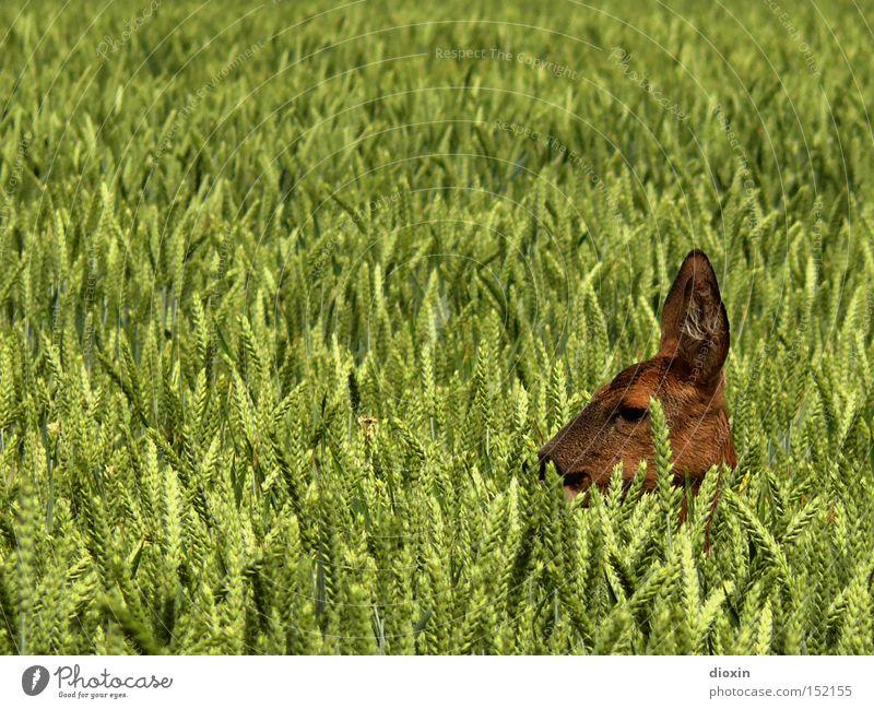 hide and seek (Capreolus capreolus) Natur Auge Kopf Frühling Feld Hirsche Wildtier Ohr Getreide Fell Landwirtschaft Jagd Säugetier Geborgenheit Weizen