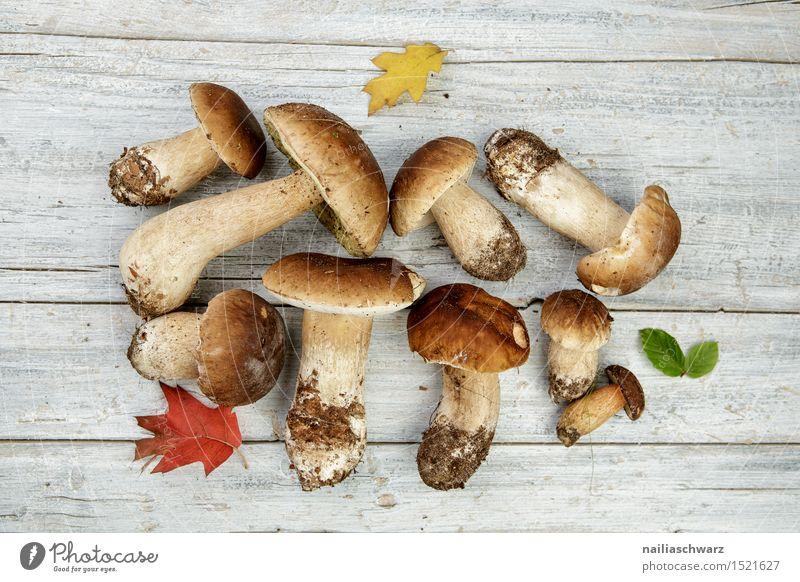 Frische Steinpilze aus dem Wald Natur Pflanze Blatt Umwelt Herbst Lebensmittel braun frisch mehrere Ernährung Duft Pilz Moos Slowfood