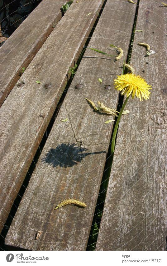 löwenzahn @ bank Pflanze gelb Bank Löwenzahn Blume