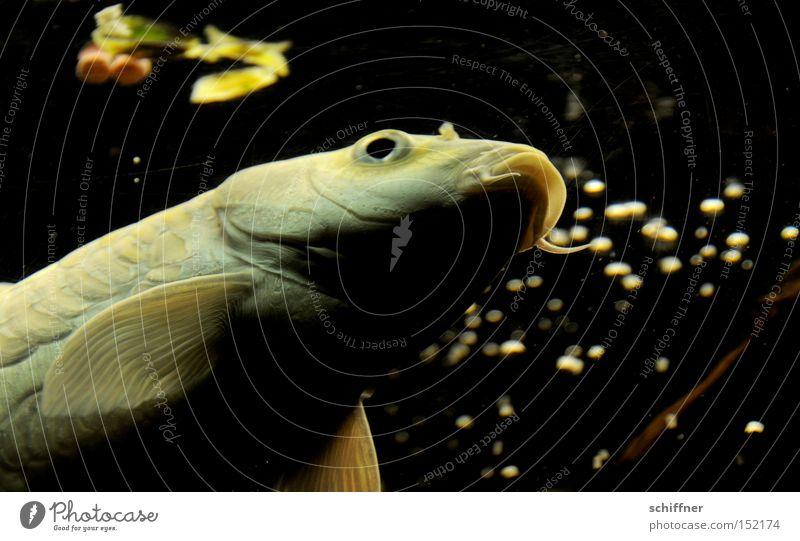 Mahlzeit! Fisch Karpfen Koi Aquarium Wasser Flosse fliegen Schweben Futter füttern Wasseroberfläche Mund Maul Edelfisch Luftverkehr Schwimmen & Baden