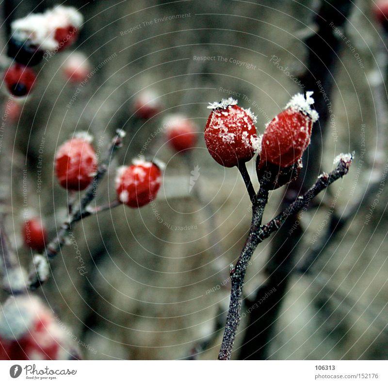 Fotonummer 106687 früher Hagebutten kalt Schnee Frost Sträucher Kitsch schön ästhetisch Winter weiß rot Frucht Hundsrose