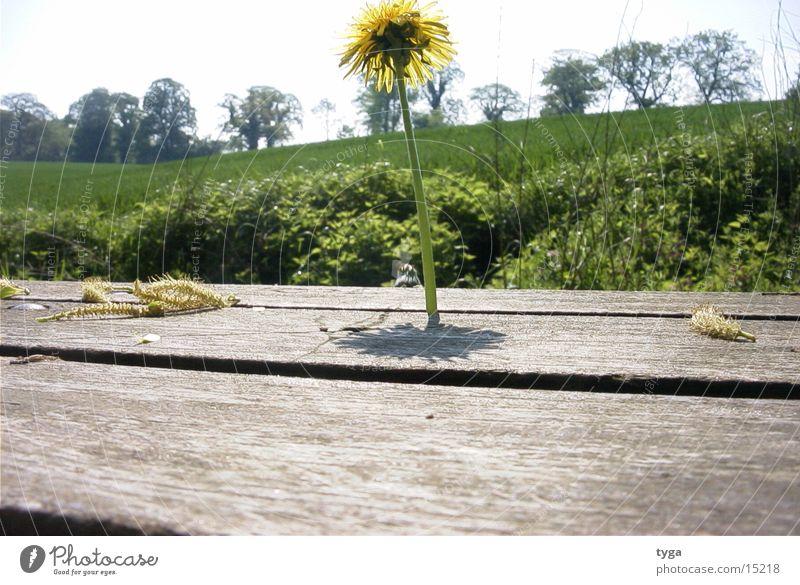 Löwenzahn @ bank #2 gelb Bank Blume