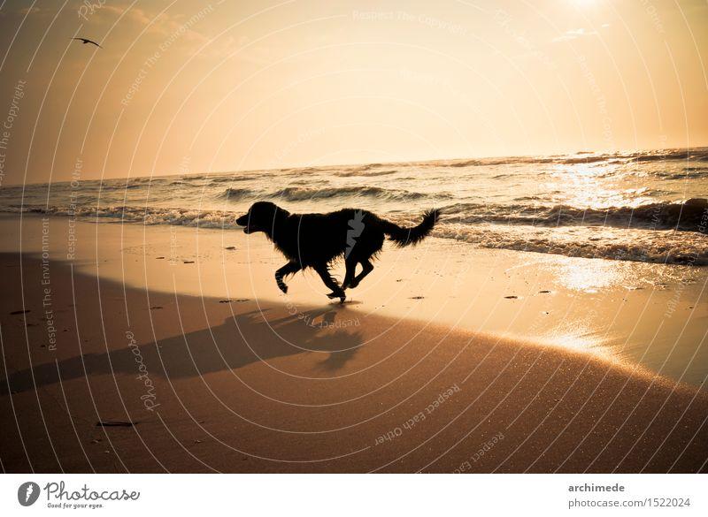 Glücklicher Hund, der auf den Strand läuft Ferien & Urlaub & Reisen Meer Tier Freude Küste wild frei rennen Haustier horizontal