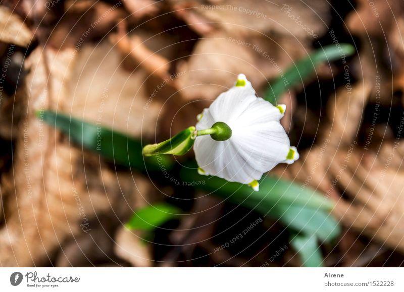 Frühlingseinläuterin Pflanze Blume Blatt Schneeglöckchen Herbstlaub Wald Waldboden Blühend Wachstum natürlich schön braun grün weiß Frühlingsgefühle Beginn