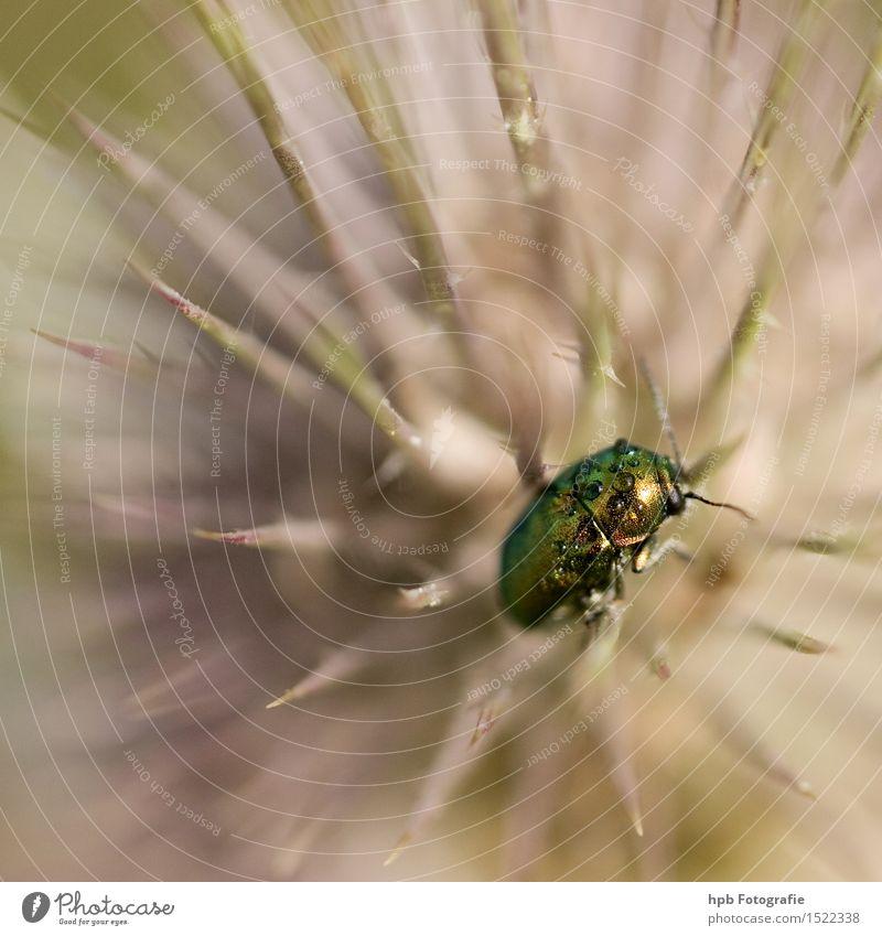 Rosenkäfer auf Distel Natur Pflanze Tier Frühling Sommer Garten Park Wiese Feld Wald Wildtier Käfer 1 hocken krabbeln sitzen warten ästhetisch außergewöhnlich