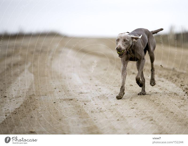 apportieren. Hund dreckig Ball Weimaraner Fell Pfote Zunge Säugetier Außenaufnahme Jagdhund Haushund Haustier Rassehund Ganzkörperaufnahme Dynamik laufen rennen
