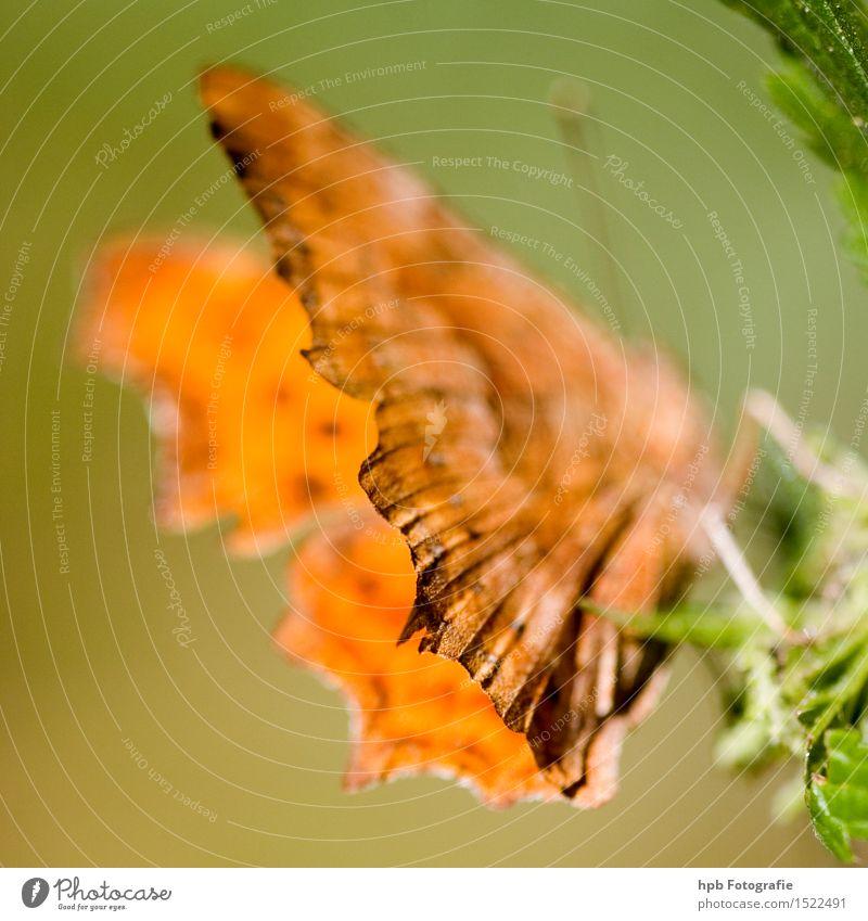 C-Falter Natur grün schön Tier Gefühle außergewöhnlich Stimmung orange elegant Wildtier ästhetisch Perspektive Flügel beobachten einzigartig Vergänglichkeit