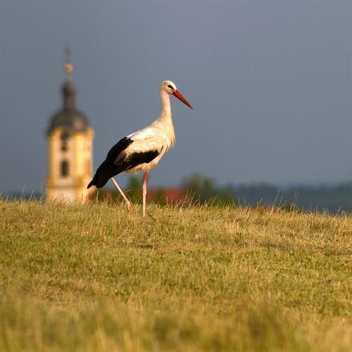 Storch Natur Landschaft Tier Sommer Wiese Feld Wildtier Vogel 1 Brunft beobachten Bewegung ästhetisch natürlich schön trocken wild blau gelb weiß Stimmung