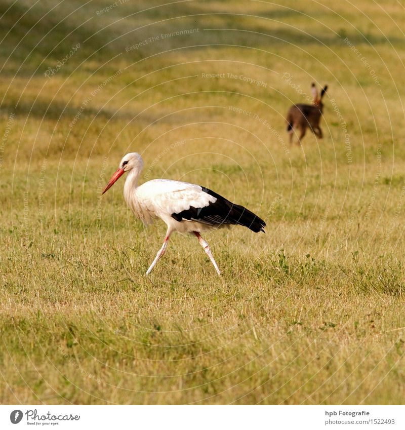 Storch und Hase Natur Landschaft Tier Wiese Feld Wildtier Vogel Fell Hase & Kaninchen 2 laufen ästhetisch Zusammensein Glück schön gelb rot schwarz weiß Gefühle