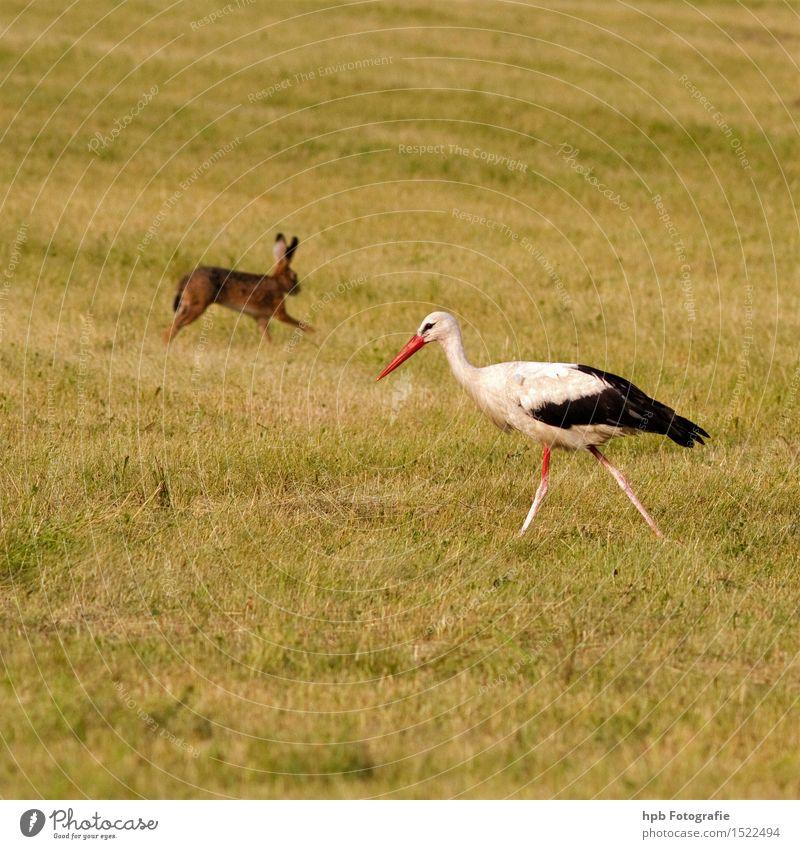 Hase und Storch Natur Landschaft Tier Frühling Sommer Wiese Feld Wildtier Vogel Fell Hase & Kaninchen 2 Tierpaar Bewegung laufen rennen ästhetisch